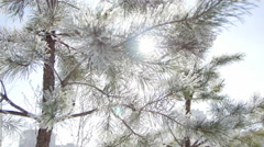 Young Spruce in Frost. Winter Stock Footage