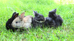 Small rabbits eat grass Stock Footage