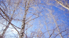 Birch Drooping in Frost. Bottom View. Dolly Stock Footage