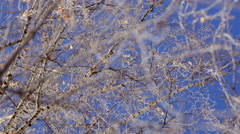 Beautiful Hanging Birch in Frost. Bottom View Stock Footage