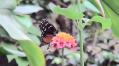 Butterfly (Heliconius hecale) on pink - yellow flower. Stock Footage