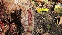 The firebug or Pyrrhocoris apterus Stock Footage