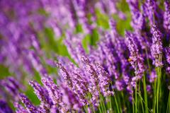 Beautiful Blooming Lavender Flowers. Summer season in Provence Stock Photos