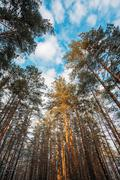 Winter Pinewood, Bottom Wide Angle View Of Tall Thin Evergreen Pines Stock Photos