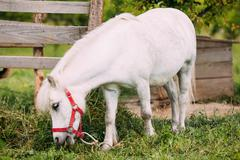 Standing White Pony Is Eating Grass At Countryside Ranch. Nag In Stock Photos