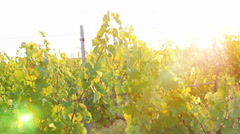 Pretty Young Female Dancing In Vineyard at Sunset Stock Footage
