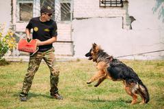 German shepherd Alsatian Wolf Dog dog training. Biting dog. Deut Stock Photos