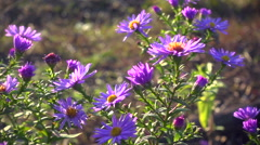 Magenta asters flowerbed at the wind, slow motion Stock Footage