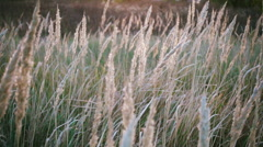 Tall grass sways in the wind, tranquil landscape, slow motion Stock Footage
