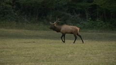 Elk Bull in Field at Smoky Mountains Stock Footage