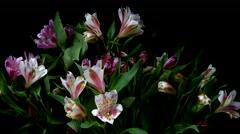 Alstroemeria Flower Timelapse Stock Footage