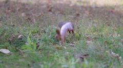 Squirrel running through the grass in the park in search of food Stock Footage