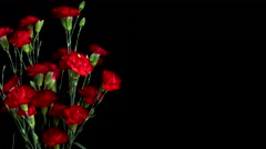 Red Carnation Flower Timelapse Stock Footage