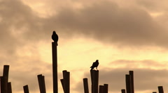 Crows at sunrise on beach. Stock Footage