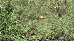 Orange Butterfly in Slow Motion with Green Plants in Background Stock Footage