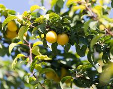 Yellow plums on the tree in nature Stock Photos