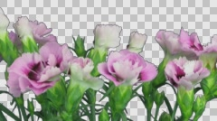 Time-lapse of growing pink (Dianthus) flower with ALPHA channel Stock Footage