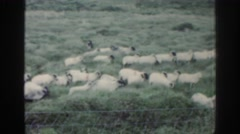 1961: flock of sheep being herded by a dog. IRELAND Stock Footage
