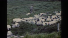 1961: shepherds and their dogs drive the sheep. IRELAND Stock Footage