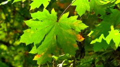 4K Close Up of Green Maple Leaf, Maple Tree in National Park, Canadian Symbol Arkistovideo