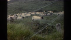 1961: a large flock of sheep in the hilly countryside IRELAND Stock Footage