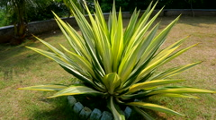 Tropical agave plant Stock Footage