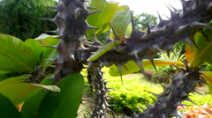 Barbed tropical plant Stock Footage