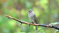 Greenfinch bird perced on branch rainy day beautiful green blur background Stock Footage