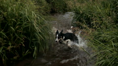 DOG BORDER COLLIE RUNNING IN THE WATER Stock Footage