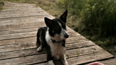 Dog border collie performing command Stock Footage