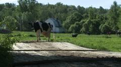 Cows on the farm yard Stock Footage