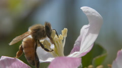 Close view and slow motion of a honey bee pollinating an apple blossom Stock Footage