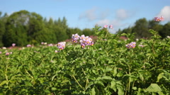 Multicolored flowers of potato plant closeup Stock Footage