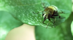 Bee crawling on a leaf, close-up shot, bumble foot rubs Stock Footage