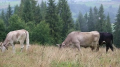 Cows on mountain meadow Stock Footage