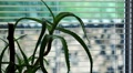 Aloe flower stands on windowsill HD Footage