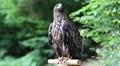Female eagle, bird of prey HD Footage