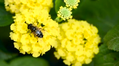 Bee collects pollen on the flower close up Stock Footage