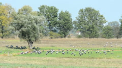 Crane birds on a meadow at Havelland (Brandenburg, Germany) Stock Footage