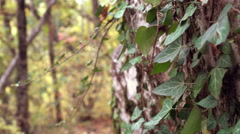 Close up of green ivy on the rocks. Dolly shot of ivy on rock. Stock Footage