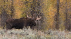 Bull Shiras Moose in the Fall Rut Stock Footage