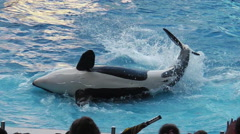 Killer whale Seaworld Stock Footage