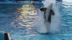 Tilikum orca whale Stock Footage