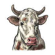 Cows head. Hand drawn in a graphic style. Stock Illustration