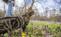 Black and brown striped British cat in park with owner Stock Photos