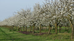 Blooming plum orchard in spring Stock Footage