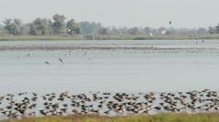 Autumn bird migration of Greylag goose Stock Footage