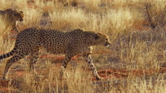 Cheetahs in red desert Stock Footage