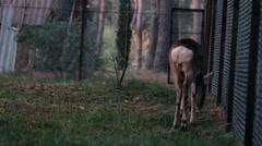 European roe deer in captivity Stock Footage