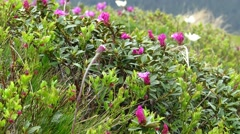Flowers near Mount Goverla Stock Footage